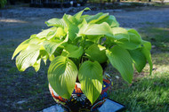 The Shining Hosta - 4.5 Inch Container