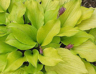 Tickle Me Pink Hosta