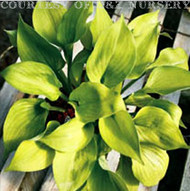 Citratini Hosta - 3 Inch Container