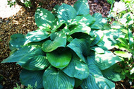 Fried Green Tomatoes Hosta - 4.5 Inch Container