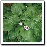 Stonewall Hosta - 4.5 Inch Container