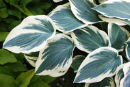 Blue Ivory Hosta PP19623