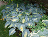 Dream Queen Hosta - 4.5 Inch Container