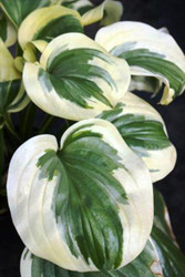 Fragrant Queen Hosta PP19508