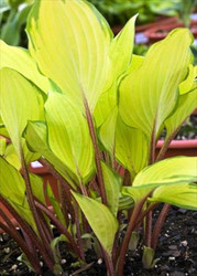 Paradise Island PP20798 Hosta - 4.5 Inch Container