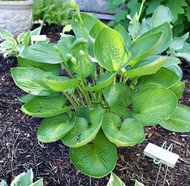 Cup of Grace Hosta - 4.5 Inch Container