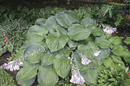 Allegan Emperor Hosta from NH Hostas