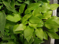 Shiny Penny Hosta - 3 Inch Container