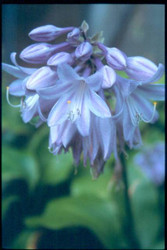 Grape Fizz Hosta