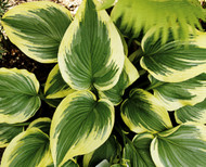 Pearly Gates Hosta - 4.5 Inch Container