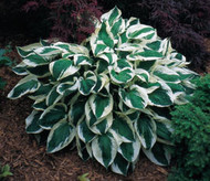 Patriot Hosta - 4.5 Inch Container