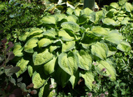 Lunar Orbit Hosta - 4.5 Inch Container