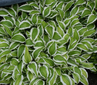 Bunchoko Hosta - 3 Inch Container