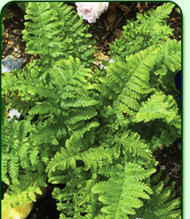 Parsley Leaf Male Fern - 4.5 Inch Container