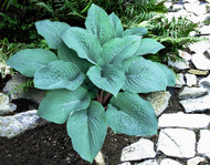 Blueberry Muffin Hosta - 4.5 Inch Container