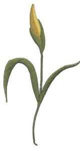 Ov8947 - Daffodils