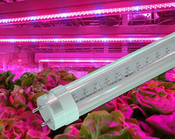 GrowLX, 4ft, T8, 22 watt, Full Spectrum Grow Bulb