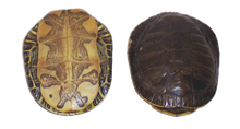 Shell - Painted Turtle