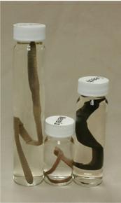 Annelida Jar Set