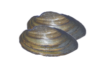 "3"" - 4"" Plain Freshwater Clams"