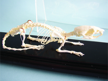 Skeleton - Rat