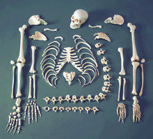 Disarticulated Budget Skeleton with Skull - FULL