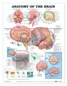 Reference Chart - Anatomy of the Brain