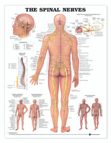 Reference Chart - Spinal Nerves