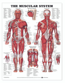 Reference Chart - Muscular System
