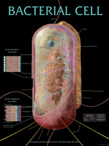 Wall Chart - Bacterial Cell