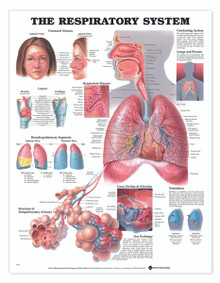 Reference Chart - Respiratory System