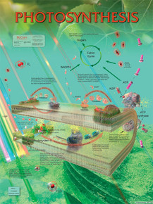 Wall Chart - Photosynthesis