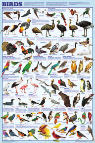 Display Chart - Birds