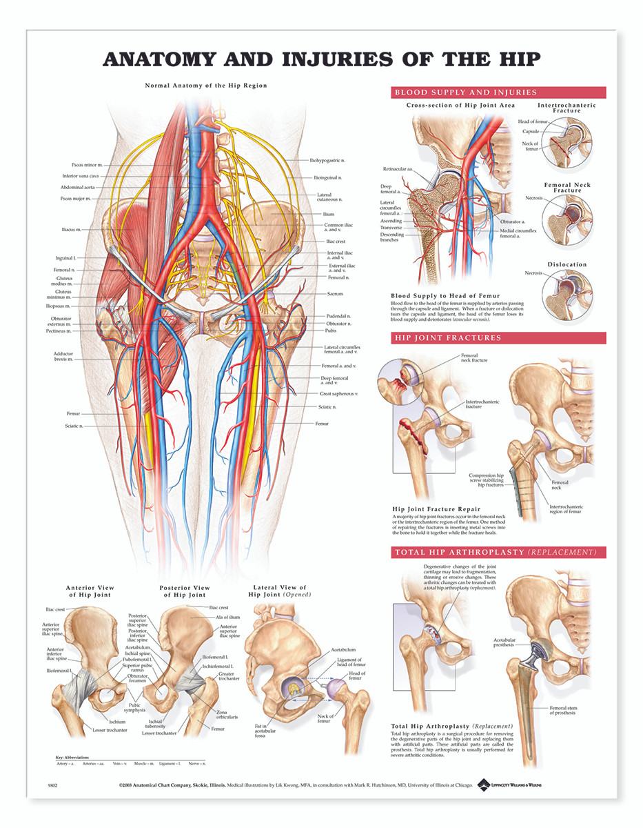 Reference Chart - Anatomy and Injuries of the Hip - Biologyproducts.com