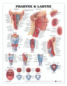 Reference Chart - Pharynx & Larynx