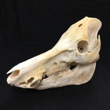 Wild Boar Skull