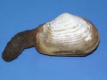 Mya (soft clam)