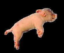 """14"""" - 17"""" Double Fetal Pig"""