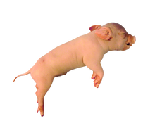 """14"""" - 17"""" Triple Fetal Pig"""