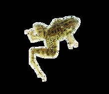 """4"""" - 4.5"""" Triple Leopard Frog"""