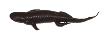 "6"" - 10"" Tiger Salamander"