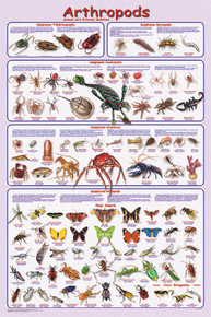 Display Chart - Arthropods