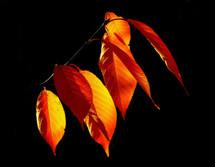 7 Leaves Ultimate Tobacco (FA)