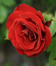 Damask Rose Incense - 1 lb