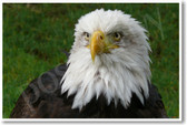 Bald Eagle - NEW Animal Wildlife Poster