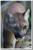 PosterEnvy - Wildlife Poster - Big Cat 2 - Animal Poster