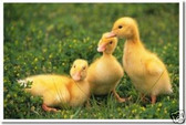 PosterEnvy - Three Baby Ducklings