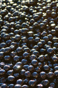 10 Lbs   Aronia Berries, Fresh Frozen, Certified Organic. 10% Off Sale Now.