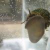 Trapdoor snails - Viviparus viviparus