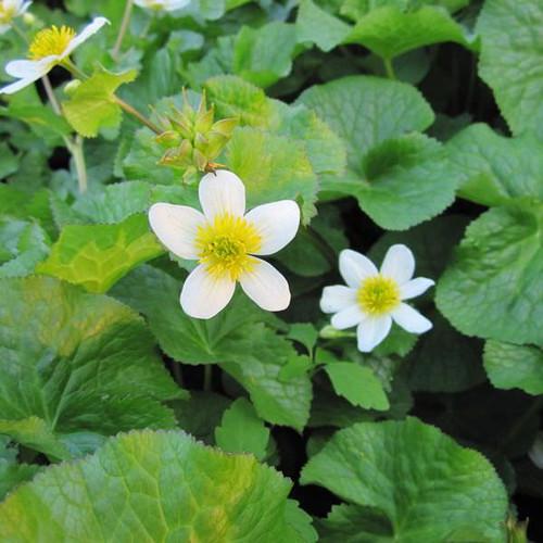 Caltha palustris Alba - White Himalayan Marigold